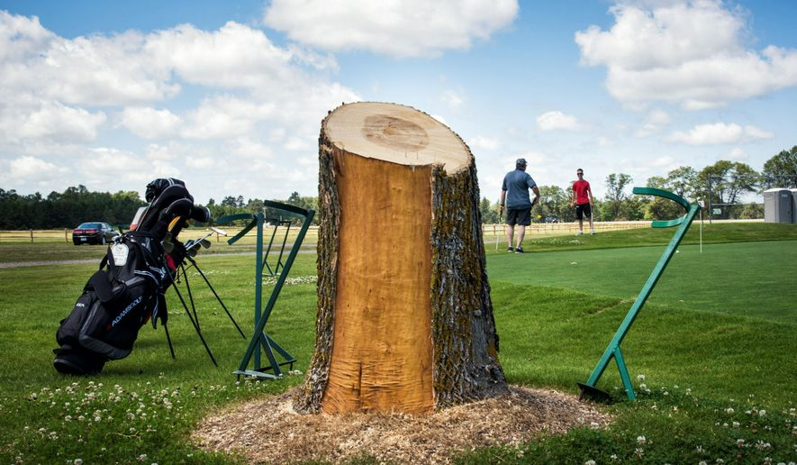 Charles Erickson told his grandsons Drew and Alec, both 14, when they were younger, he remembered watching them play golf from the shade of this now gone ash tree at Madden's resort in Nisswa, Minn. on Friday, July 17, 2015. (Glen Stubbe/Star Tribune via AP) ST. PAUL PIONEER PRESS OUT; MAGS OUT; TWIN CITIES LOCAL TELEVISION OUT; MANDATORY CREDIT