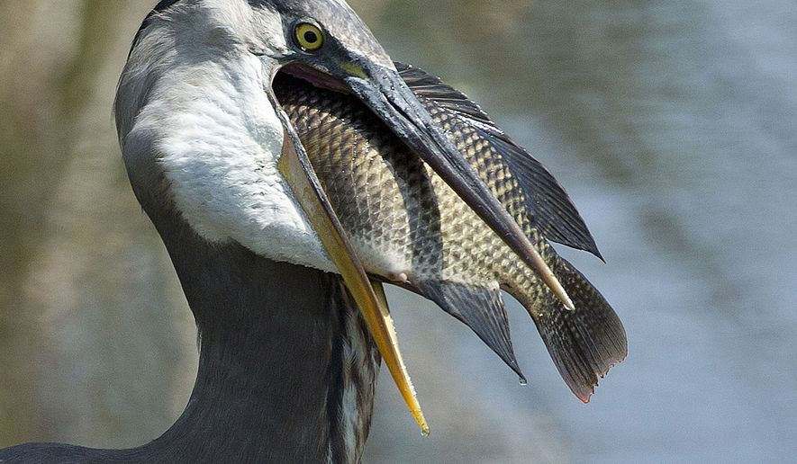 A Great Blue Heron prepares to swallow a fish at a wetland preserve near Delray Beach, Fla., Tuesday, April 2, 2013. A new Great Blue Heron colony has settled in the Avon Hills in Minnesota. (AP Photo/J Pat Carter)