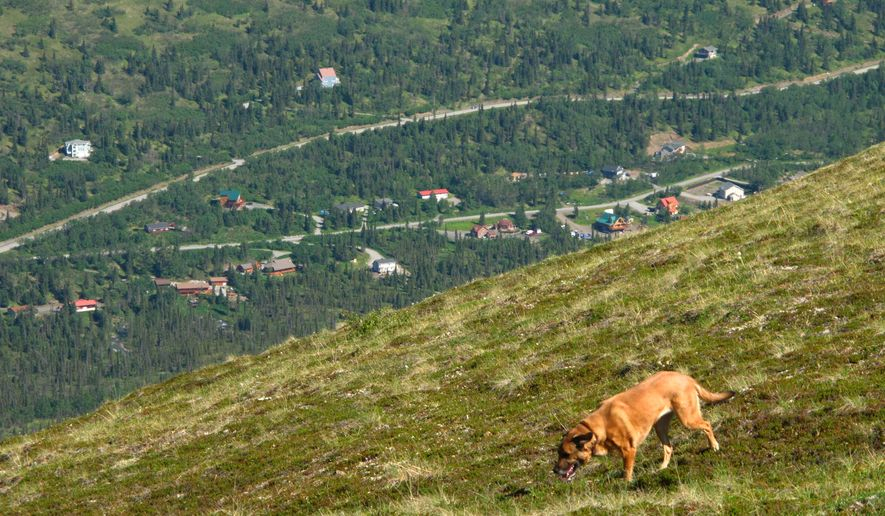 This June 17, 2015 photo shows a dog wandering at the end of a trail at Arctic Valley above a neighborhood in the suburb of Eagle River in the greater municipality of Anchorage, Alaska. The valley is a hiking and blueberry picking destination in a serene setting at the end of a 6-mile gravel road. (AP Photos/Rachel D'Oro)