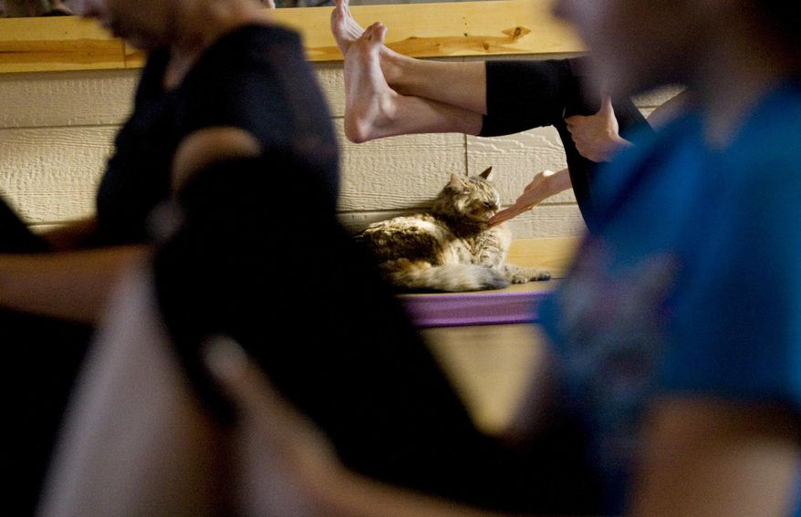 ADVANCE FOR USE SATURDAY, JULY 25 AND THEREAFTER - In this June 5, 2015 photo, Chloe watches as all around her ladies are doing yoga at Yoga at Connie's studio in Latham, Ill., during a benefit for the Homeward Bound pet shelter. The goal of the first time event was to find new owners either in class or through a video that was filmed of it and will be posted online of the class. (Lisa Morrison/Herald & Review via AP)