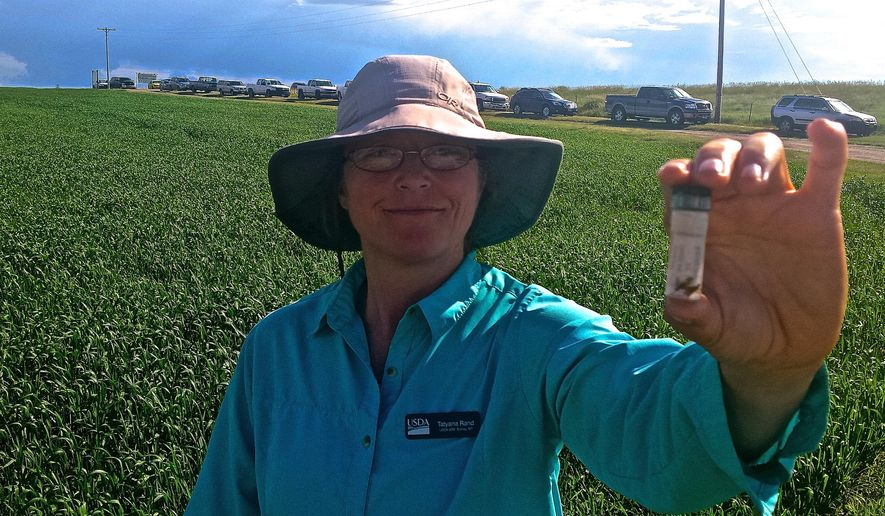 ADVANCED FOR RELEASE MONDAY, JULY 27, 2015 Research entomologist Tatyana Rand, with the USDA-ARS farm in Sidney, Mont. holds up a vial with specimens of sawflies at various stages of development, as well as a the wasp that preys on them. She is researching rainfall factors that can be used to better predict outbreaks and help guide management decisions. (Renee Jean/Williston Herald via AP)