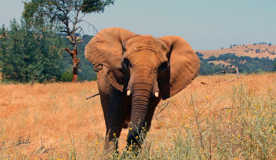 This undated photo provided by Performing Animal Welfare Society (PAWS) shows African elephant Iringa at the ARK 2000 captive wildlife sanctuary in San Andreas, Calif. PAWS says one of the oldest African elephants in North America has been euthanized Wednesday, July 22, 2015, in California because of chronic degenerative joint and foot disease. (Lisa Worgan/PAWS via AP)