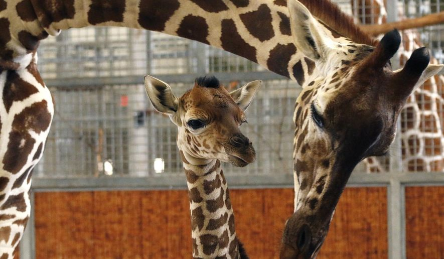 File - In this April 14, 2015, file photo, provided by the Dallas Zoo, a calf and its mother stand in the maternity stall at the zoo, in Dallas. The baby giraffe whose birth at the Dallas Zoo was viewed live on the Internet worldwide has died in an accident at the zoo Tuesday, July 28. (Cathy Burkey/Dallas Zoo via AP, File)