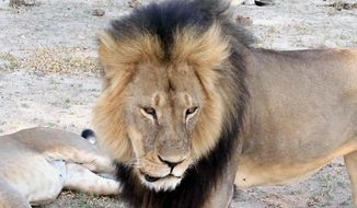 In this image taken from a November 2012 video made available by Paula French, a well-known, protected lion known as Cecil strolls around in Hwange National Park, in Hwange, Zimbabwe. Zimbabwe's wildlife minister says extradition is being sought for Walter Palmer, the American dentist who killed Cecil. On Saturday, poachers killed Jericho, Cecil's brother. (Paula French via AP)