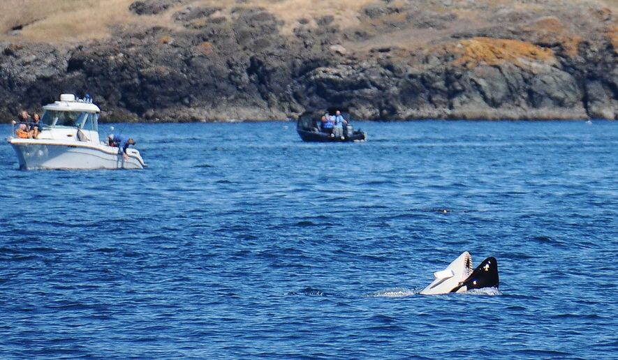 This Aug. 1, 2015 photo provided by Barbara Bender, shows a lure hanging from an orca near the San Juan Islands, Wash. Federal officials say they're monitoring the killer whale, but it does not appear to be injured. (Barbara Bender/All Aboard Sailing via AP)