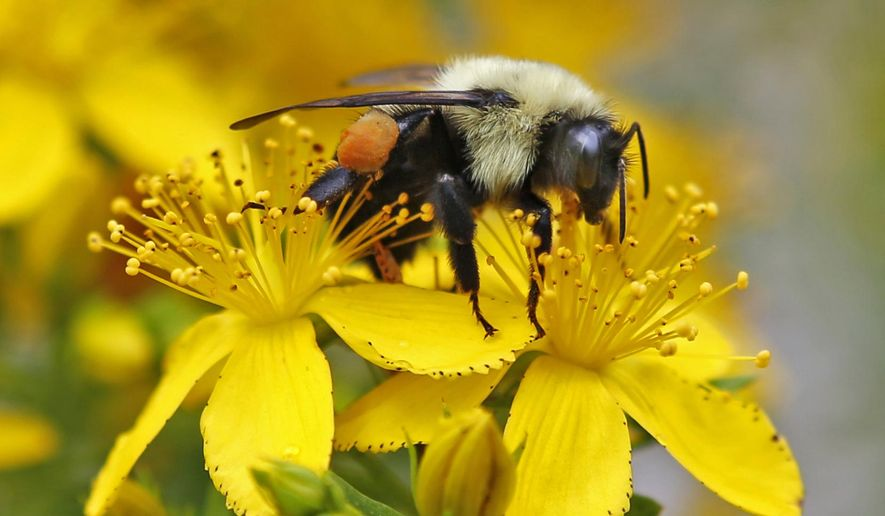 In this July 8, 2015, file photo a bumblebee gathers nectar on a wildflower in Appleton, Maine. (AP Photo/Robert F. Bukaty)