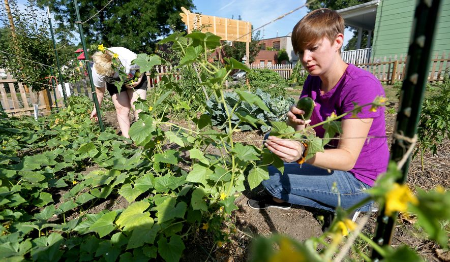 In this photo taken Wednesday, Aug. 5, 2015, Laura Klavitter, right, a horticulture educator with Dubuque County/ISU Extension, and Adi Canganelli, 13, of Dubuque, pick cucumbers at the Washington Neighborhood Community Garden in Dubuque, Iowa.  Klavitter is part of Edible Dubuque, a new group that recently received seed money from the city to launch an effort to create edible landscapes where residents can forage for food. (Jessica Reilly/Telegraph Herald via AP) MANDATORY CREDIT