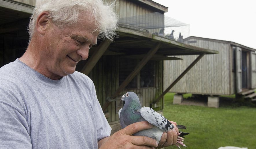 In this June 24, 2015 photo, William Meyer holds one of his favorite pigeon racers in Decatur, Ill. Meyer has his racing or homing pigeons driven out for distances up to 600 miles from their Decatur loft. Then, along with rival fanciers' pigeons, they are all released at the same time and the first homing pigeon who goes home again, wins. (Lisa Morrison/Herald & Review via AP) MANDATORY CREDIT