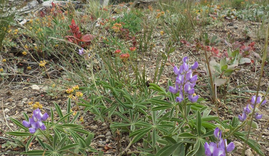 ADVANCE FOR MONDAY AUG. 17 AND THEREAFTER - In a July 25, 2015 photo, wildflowers are blooming on Tumalo Mountain West of Bend, Or. Perched at an altitude of 7,779 feet, which is a pretty forgiving height as far as hike-in peaks go, Tumalo Mountain is situated just 20 miles from Bend. (David Jasper/The Bulletin via AP)