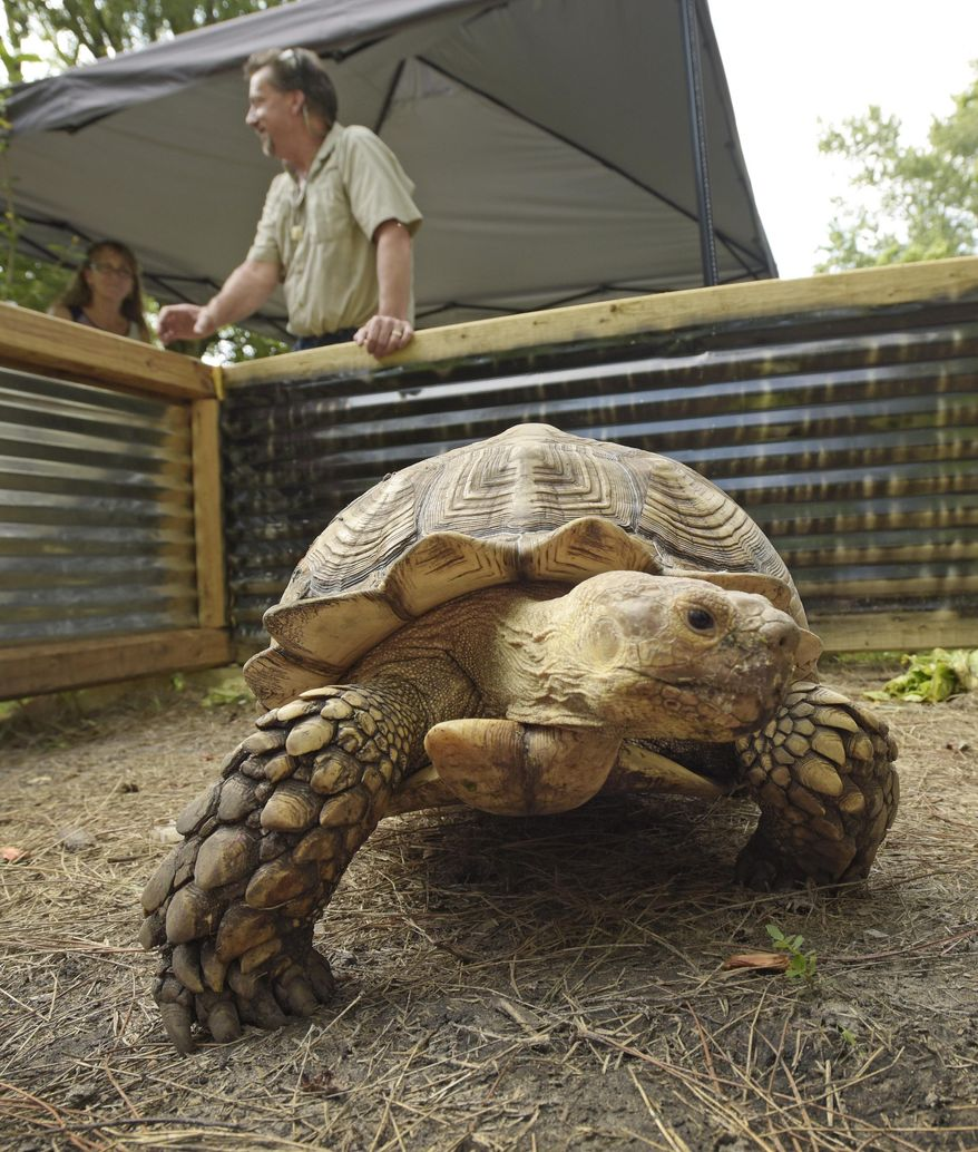 FOR RELEASE SATURDAY, AUG. 15, 2015 - In this photo taken on July 30, 2015, a large African Sulcata Tortoise crawls in its inclosure in the backyard of Bob and Liz Shumaker's Westside Jacksonville, Fla., home.  What started as one pet snake for Bob and Liz Shumaker grew into a collection of over 100 snakes, lizards, turtles, tortoises and a handful of other critters in and around their Westside Jacksonville home. They have collected, bred, and taken in rescue reptiles and do public appearances and educational events in the community in an effort to educate the public as well as generate extra revenue to feed and maintain their growing collection.   (Bob Self/The Florida Times-Union via AP) MANDATORY CREDIT