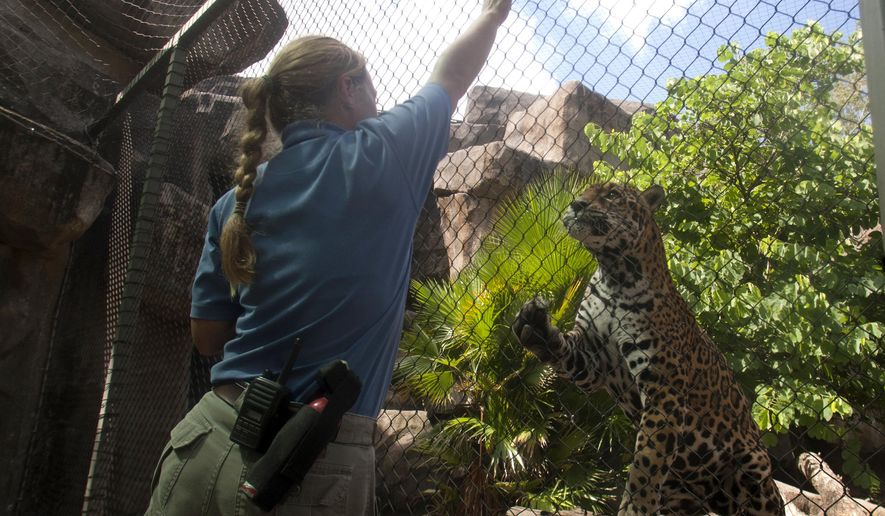 FILE - In this July 31, 2012, file photo, carnivore keeper Angie Pyle plays with jaguar Cocoy at the Houston Zoo in Houston. The 19-year-old female jaguar has been euthanized after suffering from kidney failure. According to zoo officials, Cocoy was euthanized Wednesday, Aug. 12, 2015, due to her age and lack of treatment options. Cocoy was born at the Guadalajara Zoo in Mexico and moved to the Houston Zoo in 2006.  (J. Patric Schneider/Houston Chronicle via AP, File)