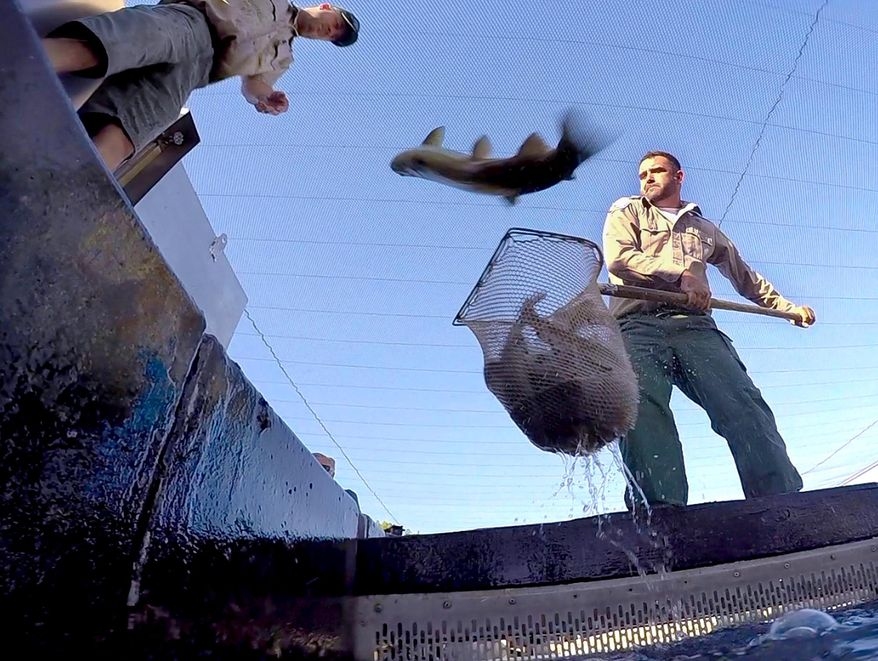 Mike Marty, of the California Fish and Wildlife Department, hoists a net full of splashing rainbow trout as one jumps back into the holding tank, at the San Joaquin Hatchery near Fresno, Calif., Weds., Aug. 12, 2015. Tons of rainbow trout had to be rescued from the Central California fish hatchery and moved by truck to cooler lake water, sparing them from the state's relentless drought, wildlife officials said Wednesday. About 80,000 pounds of trout were scooped up from the San Joaquin Hatchery near Fresno and hauled 30 miles uphill to Shaver Lake in the Sierra Nevada foothills. Temperatures in Millerton Lake, which flow through into the hatchery on the San Joaquin River, had reached nearly 70 degrees, threatening the trout's survival. (John Walker/Fresno Bee via AP)