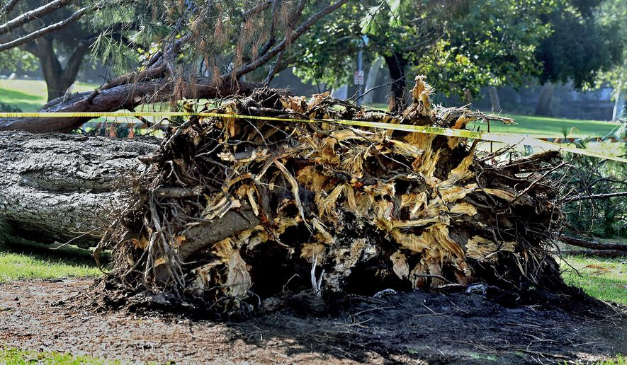 FILE - This July 29, 2015 file photo shows a pine tree where it fell next to the Kidspace Museum Pasadena, Calif. The tree had root problems, was leaning and may have absorbed a heavy load of water from a recent storm, according to an arborist's report released Thursday, Aug. 13, 2015. (Walt Mancini/Pasadena Star-News via AP, File)