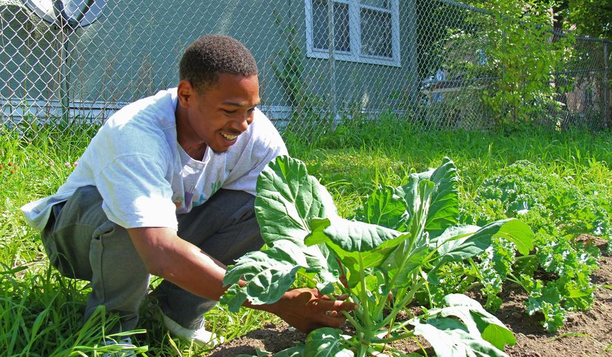 ADVANCE FOR WEEKEND EDITIONS, AUG. 15-16 - In this photo taken Tuesday, Aug. 4, 2015, Jessie McDaniel tends to greens at an urban farm site in north Minneapolis. The farm is managed by Appetite For Change, a north side nonprofit that McDaniel's mother, Princess Titus, co-founded to teach young people about food. (Jared Hemming/Minnesota Public Radio via AP) MANDATORY CREDIT