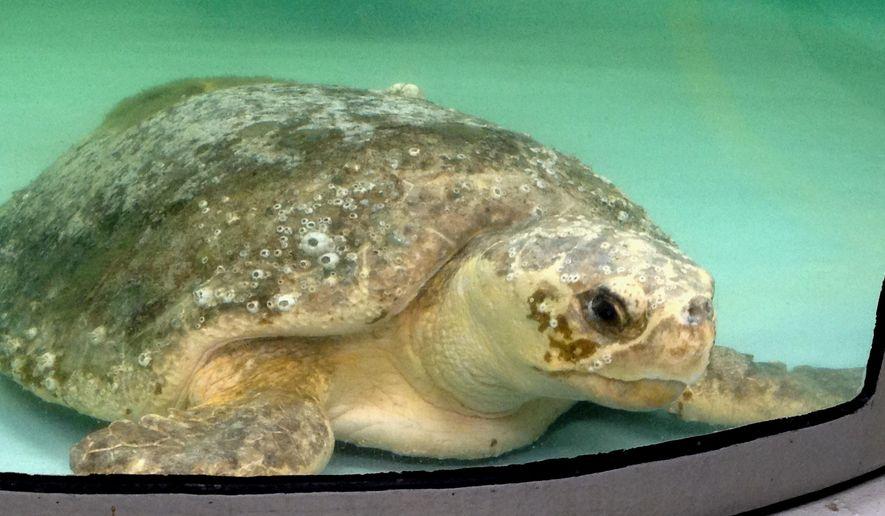 A loggerhead sea turtle rests in a tank on Thursday, Aug. 13, 2015, at the sea turtle hospital at the South Carolina Aquarium in Charleston, S.C. (AP Photo/Bruce Smith) ** FILE **