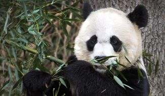 In this Dec. 19, 2011, file photo, Mei Xiang, the female giant panda at the Smithsonian's National Zoo in Washington, eats breakfast. Zoo officials think the mother of 2-year-old giant panda Bao Bao is pregnant again. Veterinarians performing an ultrasound Wednesday detected what they think is a developing fetus. (AP Photo/Susan Walsh, File)