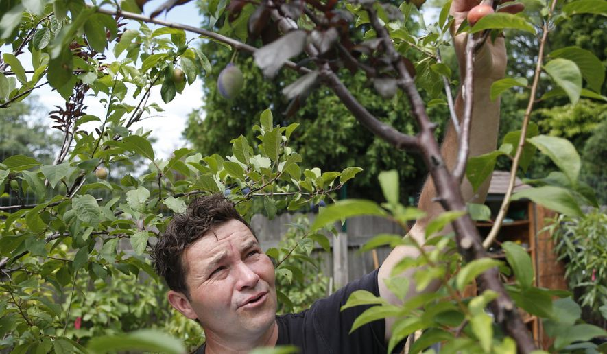 In this Monday, Aug. 3, 2015 photo, Sam Van Aken points out plum varieties on a tree at a nursery at Syracuse University in Syracuse, N.Y. Van Aken has stocked the campus nursery where he does his grafting with hard-to-find antique and heirloom varieties, some from an old research orchard. He has collected more than 40 varieties of plums, peaches, nectarines, apricots, cherries and almonds he can graft on to his trees. (AP Photo/Mike Groll)