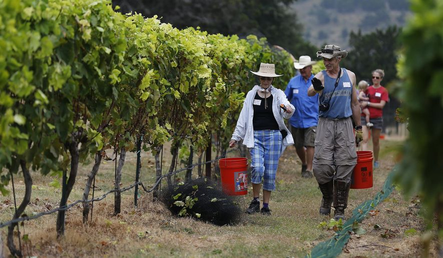 In this photo taken Saturday, Aug. 8, 2015, volunteers walk down a row of grape vines with collection buckets in hand at the Lost Maple Winery at Polvadeau Vineyards in Vanderpool, Texas. They are harvesting their largest crop of Black Spanish/Lenior grapes since they've started growing them on the property. Lost Maples Winery is the first commercial vineyard in Bandera County. (Kin Man Hut/The San Antonio Express-News via AP) RUMBO DE SAN ANTONIO OUT; NO SALES; MANDATORY CREDIT   MBO