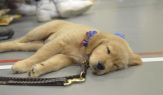 A puppy takes a nap in Fort Dodge, Iowa, Aug. 23, 2015. (Jesse Major/The Messenger via AP) ** FILE **
