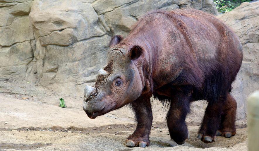 "Harapan, a Sumatran rhino enters his Wildlife Canyon at the Cincinnati Zoo and Botanical Gardens Tuesday, Aug. 25, 2015, in Cincinnati. Harapan, or ""Harry"" the only Sumatran rhino in the Western Hemisphere, one of three calves born at the Cincinnati Zoo will be moved to Indonesia, to breed at the Sumatran Rhino Sanctuary. (Cara Owsley /The Cincinnati Enquirer via AP)  MANDATORY CREDIT;  NO SALES"