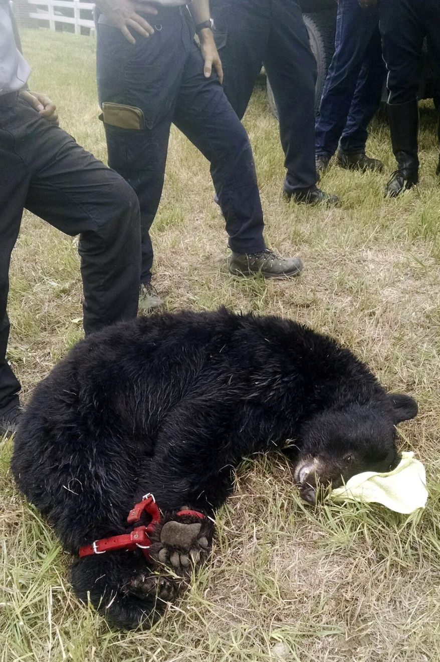 In this photo provided by the Arvada Police Department, a female black bear is tied next to emergency personnel after being tranquilized in Arvada, Colo., Thursday, Aug. 27, 2015. Lockouts at an Arvada high school and elementary school have been lifted after the bear was tranquilized at the high school and removed by wildlife officials. (Chris Daisog/Arvada Police Deparment via AP)