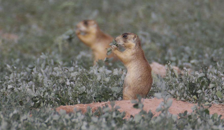This Aug. 6, 2015, photo, shows prairie dogs, in southern Utah. Utah health officials said Thursday, Aug. 27, 2015, that a resident who died from the plague in August mostly likely contracted it from a prairie dog infected with the disease. State wildlife officials say the only confirmed outbreak of plague in prairie dogs this year was in an eastern Utah colony. (AP Photo/Rick Bowmer)