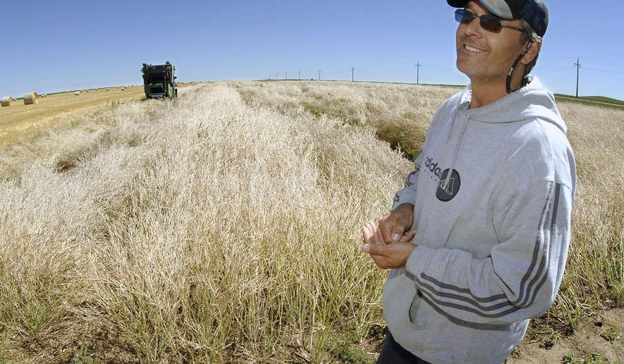 In this Aug. 24, 2015 photo, farmer Wes Frederick watches as a small combine in the background harvests a test plot of canarita, in Bismarck, N.D. North Dakota's first crop of jet fuel is showing promise. Farmers in the western part of the state this year planted 6,000 acres of a mustard seed variety known as carinata for Canadian seed producer Agrisoma Biosciences. The crop can be made into jet fuel. One potential customer is the Navy. (Mike McCleary/The Bismarck Tribune via AP) MANDATORY CREDIT