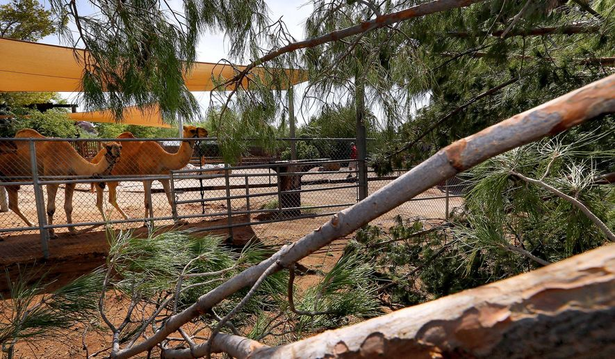 Dromedary camels are tied up, Tuesday, Sept. 1, 201 at the Phoenix Zoo, away from a large pine tree that fell into their exhibit late Monday evening. Monsoon storms hit the Phoenix area Monday night and knocked out power to thousands, delayed air travel, and stranded motorists in flash floods. The Phoenix Zoo had to close for the day to remove storm-damaged and fallen trees throughout the park. (AP Photo/Matt York)