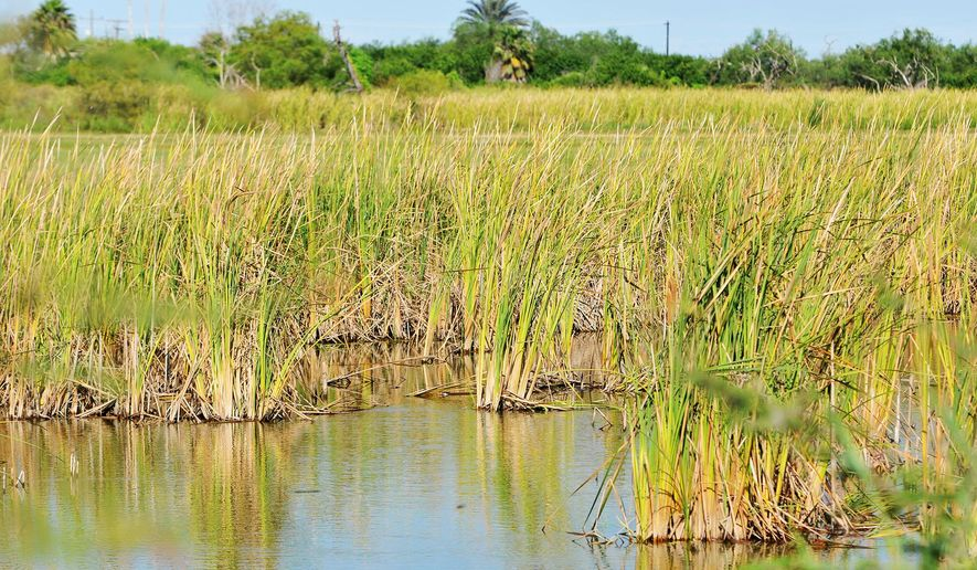 Reeds grow along the edge of Tio Cano Lake in this image taken on Monday, Aug. 31, 2015 in La Feria, Texas. The city is planning improvements in drainage of the lake bed to prevent disastrous flooding as was seen in the 2008 aftermath of Hurricane Dolly.  (Jason Hoekema/Valley Morning Star via AP) MANDATORY CREDIT