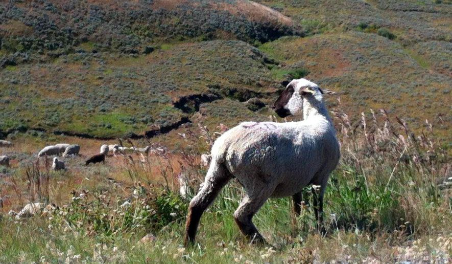 This Aug. 22, 2015 photo provided by Susie Neary shows sheep grazing on U.S. Forest Service land in the Bighorn Mountains in northern Wyoming. A lawsuit filed this week in Denver by two former shepherds from Peru alleges that key players in the sheep industry in the western U.S. have conspired to keep wages low for foreign workers. Sheep industry officials emphasize that the federal government approves wage levels for foreign shepherds. (AP Photo/Susie Neary)