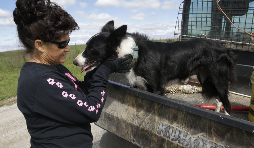 Alda Owen pets her farm service dog Sweet Baby Jo after moving cattle on her farm near Maysville, Mo., Wednesday, Aug. 19, 2015. (AP Photo/Orlin Wagner)