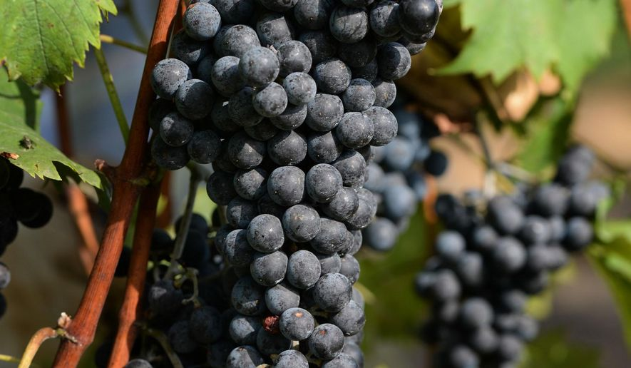In this photo taken Aug. 29 2015, Jerry Pegram has found that Chamboucin grapes, a French-American hybrid, are well suited for the Piedmont region of North Carolina, at Pegram's Glad Heart Vineyard in Winston-Salem, N.C. (Walt Unks/The Winston-Salem Journal via AP) MANDATORY CREDIT