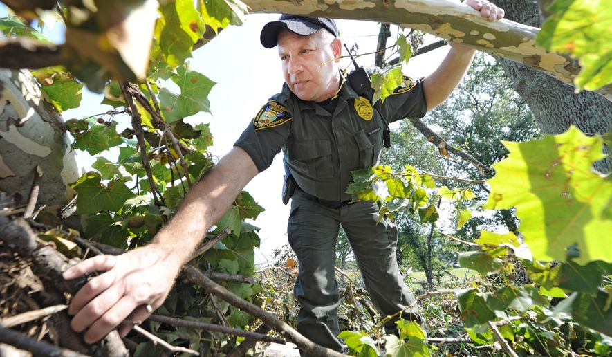In this photo taken Tuesday, Sept 8, 2015, Conservation officer Scott Johnson gets a close-up look at the remains of an eagle's nest which was built on an old sycamore tree in Greenfield, Ind.. Eagles are known to stay in the area where they have built their nests, Johnson said. (Tom Russo, Daily Reporter via AP)