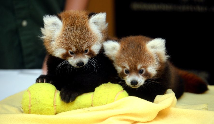 A pair of male red panda cubs are introduced during a press conference at the Rosamond Gifford Zoo in Syracuse, N.Y., Thursday, Sept. 10, 2015. Director Ted Fox says the cubs, born at the end of June, are evidence of the success of the zoo's red panda breeding program and will help ensure the survival of the endangered species. (Kevin Rivoli/The Syracuse Newspapers via AP) NO SALES; MANDATORY CREDIT