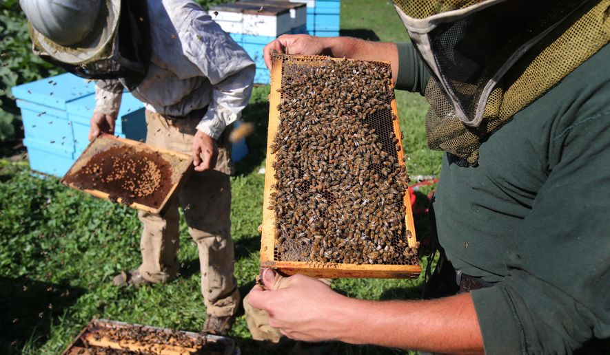 File-In this Aug. 20, 2013, file photo, Matthew Burris, right, and Ethan Bennett examine frames from a honey bee hive east of Junction City, Ore. A federal appeals court Thursday,Sept. 10, 2015, blocked the use of a pesticide over concerns about its effect on honey bees, which have mysteriously disappeared across the country in recent years. (Brian Davies/The Register-Guard via AP)