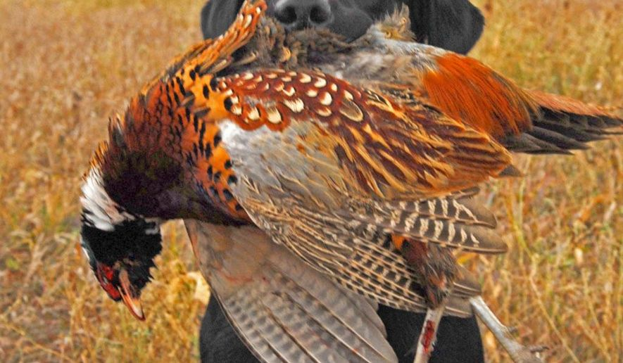 In this undated photo, a dog carries a pheasant in Marshall, Minn. Gov. Mark Dayton released a 10-point plan Monday, Sept. 14, 2015, for addressing a long decline in Minnesota's pheasant population, with some steps for helping the game bird underway and other goals that will be closely tracked for signs of progress. (Dennis Anderson/Star Tribune via AP)  MANDATORY CREDIT; ST. PAUL PIONEER PRESS OUT; MAGS OUT; TWIN CITIES LOCAL TELEVISION OUT