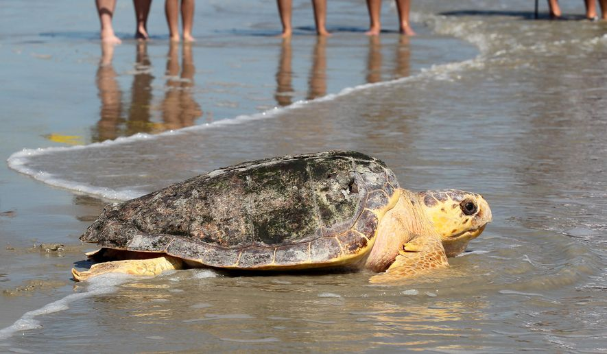 A 102-pound, female loggerhead sea turtle makes her way into the Gulf of Mexico on Wednesday Sept. 16, 2015, after being rehabilitated at the National Oceanic and Atmospheric Administration's sea turtle facility in Galveston, Texas. The turtle was caught off the Galveston Fishing Pier earlier this summer.  (Jennifer Reynolds/The Galveston County Daily News via AP) MANDATORY CREDIT