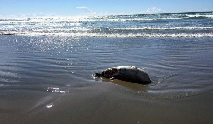 """In this Sept. 4, 2015, photo, a seal carcass showing signs of a shark attack is seen washed up on shore at a beach in Gearhart, Ore. NOAA identifies great whites as """"the top shark species implicated in unprovoked fatal attacks throughout the world,"""" encounters with them by humans are rare. In recent weeks, however, four sea animals have been found dead from large shark bites on Clatsop County beaches. (R.J. Marx/Seaside Signal via AP) MANDATORY CREDIT"""