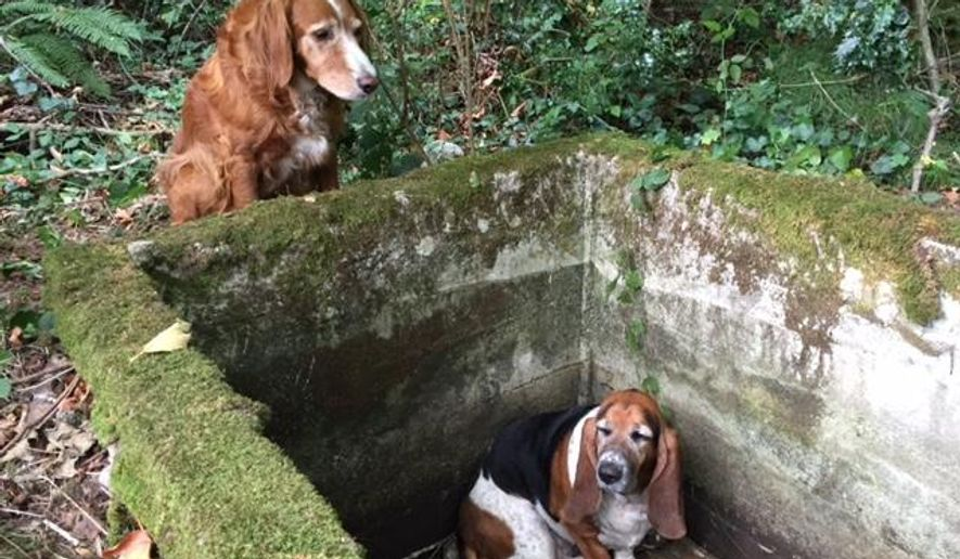 In this Tuesday, Sept. 15, 2015, photo provided by Amy Carey, of Vashon Island Pet Protectors, a setter mix named Tillie, left, watches over Phoebe, a basset hound who was trapped after falling into the cistern nearly a week earlier before being rescued by searchers on Vashon Island, Wash. A Washington state animal shelter says Tillie stood guard for a nearly a week to watch over Phoebe, only leaving her side to alert people of her trapped friend. The two were found unharmed Tuesday, Sept. 15, 2015, after they were reported missing by their owners last week.  (Amy Carey/Vashon Island Pet Protectors via AP)