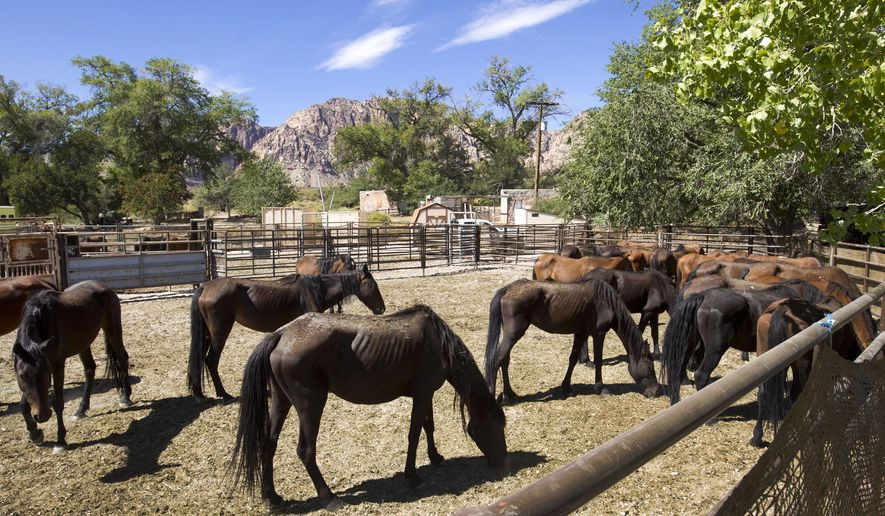 ADVANCE FOR WEEKEND EDITIONS, SATURDAY, SEPT. 19 AND THERE AFTER - In this photo taken on Thursday, Sept. 3, 2015, wild horses are shown in an enclosure at the Oliver Ranch near Red Rock Canyon, Nev. The horses were rounded up near Cold Creek. (Steve Marcus/Las Vegas Sun via AP) LAS VEGAS REVIEW-JOURNAL OUT; MANDATORY CREDIT