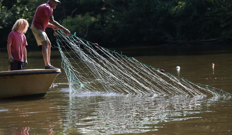 FOR RELEASE SATURDAY, SEPTEMBER 19, 2015, AT 9:00 A.M. EDT. - In this photo taken on Tuesday, Sept. 8, 2015, research technician Ramsey Noble, left, watches as Kirk Moore, right, hauls in a net on the Pamunkey River in King William County, Va., in search of a sturgeon.  Moore is a member of the Pamunkey Indian Tribe and the sturgeon are culturally important to the tribe.  For the last few years researchers have been studying a small population of sturgeon that comes up the river to spawn.  (Steve Earley /The Virginian-Pilot via AP)  MAGS OUT; MANDATORY CREDIT