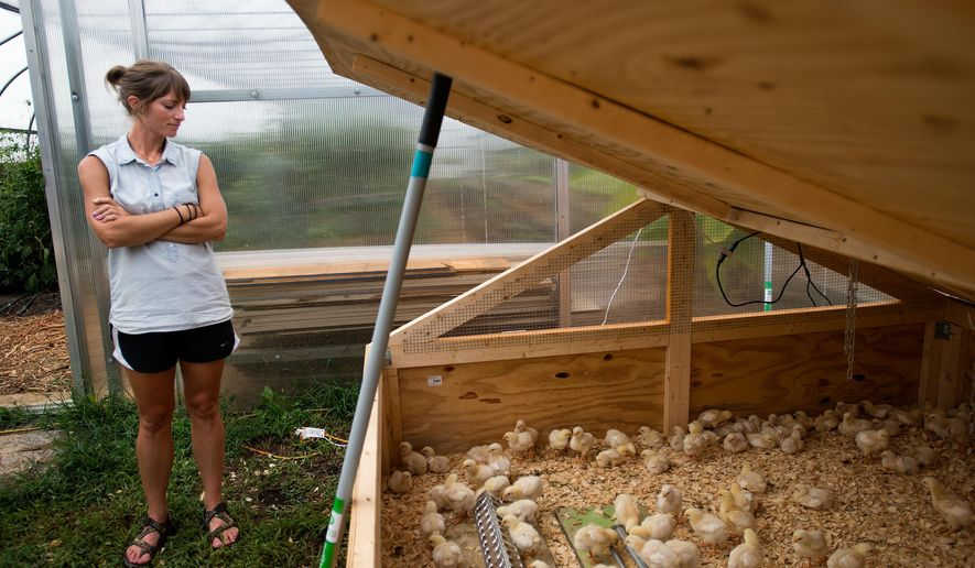 Alicia Cripe looks over Cornish Rock Cross chicks at the Campus Farm at Liberty University on Thursday, Sept. 10, 2015 Lynchburg, Va.  The farm has 160 new chicks that arrived by mail from Ohio earlier this month.  (Autumn Parry/News & Daily Advance via AP) MANDATORY CREDIT