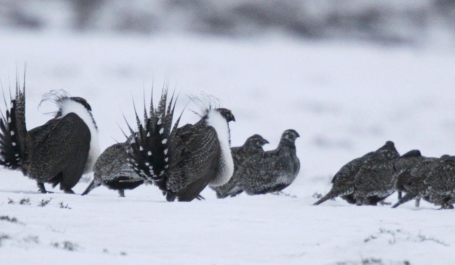 In this Saturday, April 20, 2013, photo, male Greater Sage Grouse, front, performs a mating ritual for females on a lake outside Walden, Colo. A formal announcement on the bird's future will be made Tuesday, Sept. 22, 2015, by U.S. Interior Secretary Sally Jewell at the Rocky Mountain Arsenal in Commerce City, Colo. (AP Photo/David Zalubowski)