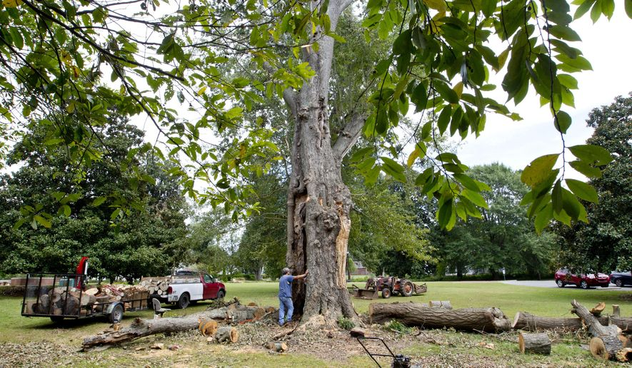 A hole can be seen through the oak tree that is known as Helen's favorite tree at Ivy Green as workers cut the tree down in Tuscumbia, Ala., Sept. 21, 2015. Workers at the birthplace of Helen Keller had to cut down the tree that the famed activist and writer climbed as a girl. A chainsaw crew removed the sprawling water oak Monday at Ivy Green, now a museum in Tuscumbia. (Matt McKean/Times Daily via AP)