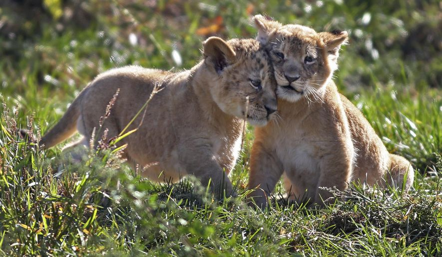 Two lion cubs play during their first public appearance at the Columbus Zoo on Wednesday, Sept. 23, 2015, in Columbus, Ohio. The zoo said the cubs making their debut Wednesday were the first of two litters born at the zoo last month. (Fred Squillante/The Columbus Dispatch via AP) MANDATORY CREDIT