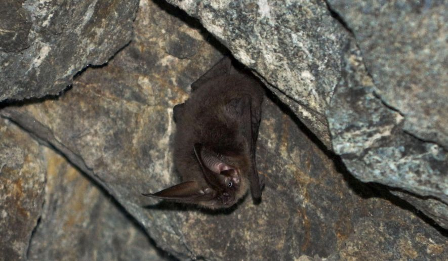 This undated photo provided by Catalina Island Conservancy, shows a bat in Catalina Island, Calif. Catalina needs the flying mammals to balance its ecosystem because bats eat insects, pollinate flowers and ingest and scatter seeds. (Julie King/Catalina Island Conservancy via AP)