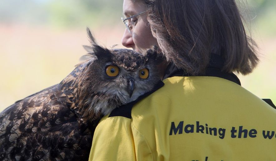 ADVANCED FOR RELEASE MONDAY, SEPTEMBER 28, 2015 Uhu, the new Eurasian eagle-owl that is at the International Owl Center in Houston, Minn.. rests its head on the shoulder of Karla Bloem, the center's director, as they walk at her rural Houston, Minn. home where she keeps the owls. (John Weiss / Rochester Post-Bulletin via AP)