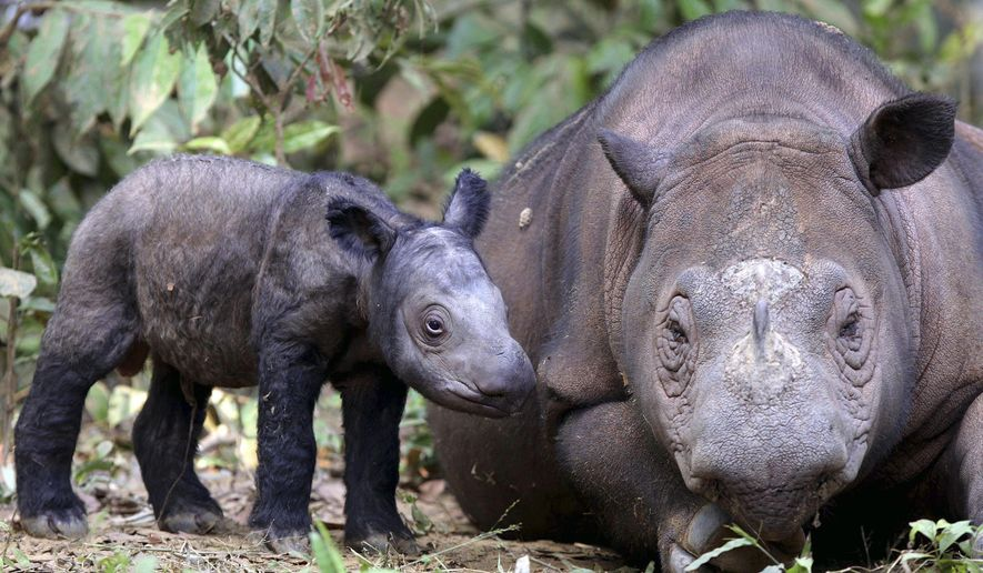 FILE - In this June 25, 2012 file photo, female Sumatran rhino named Ratu, right, is seen with her newly-born calf at Way Kambas National Park in Lampung, Indonesia. Ratu is pregnant with her second calf at an Indonesian sanctuary in the original habitat of the highly endangered species, a government conservation official said Wednesday, Sept. 23, 2015. (AP Photo/File)