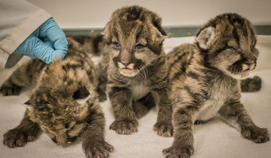 In a Monday, Sept. 21, 2015 photo provided by the Oregon Zoo, three 10-day-old rescued cougar cubs are show at the Oregon Zoo in Portland, Ore. The cubs, discovered in Washington State by Fish and Wildlife officials recently, arrived in Portland Sept. 18, weighing just a pound and a half each. They have yet to cut their teeth, and their eyes are barely open, still cloudy blue and unable to focus, but they have been eating well and are very vocal. (Kathleen C. Street/Oregon Zoo via AP) MANDATORY CREDIT