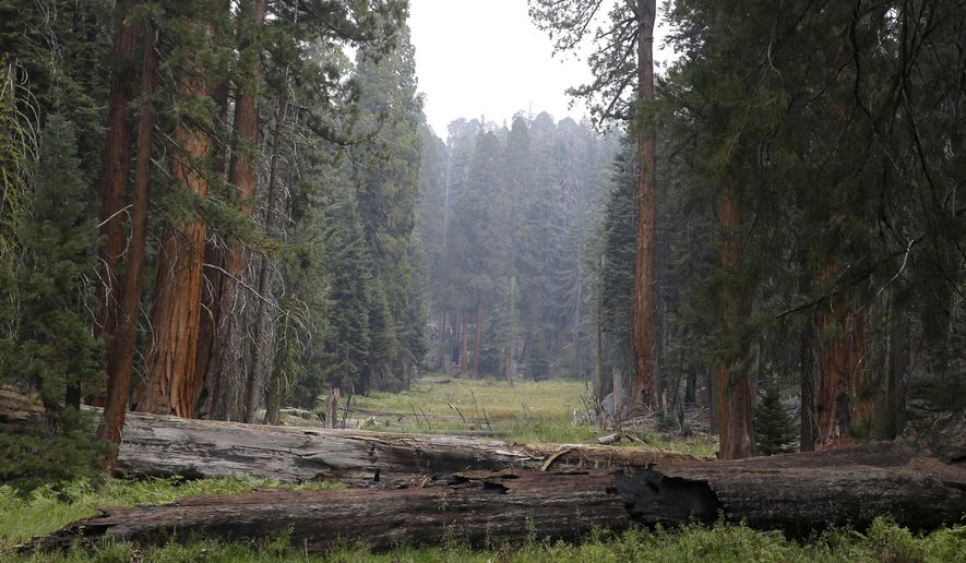 In this photo taken Friday Sept. 11, 2015, Giant Sequoia trees are seen in a meadow in the at Sequoia National Park near Visalia, Calif. Researchers are studying how California's drought is affecting the Giant Sequoias, some more than 3,000 years old and 300 feet tall, making them among the oldest and largest living things on Earth.(AP Photo/Rich Pedroncelli)
